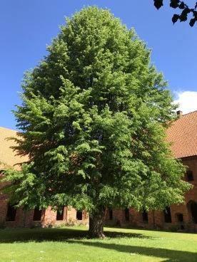 Baum Innenhof Karmeliterkloster