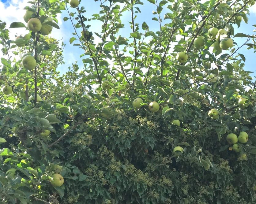 Apfelbaum am Wegesrand
